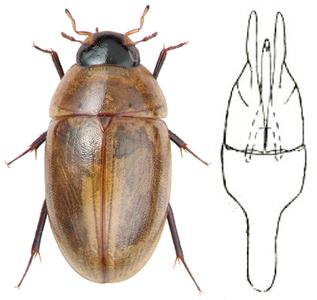 http://www.assazhnev.narod.ru/melanocephalus_1.jpg